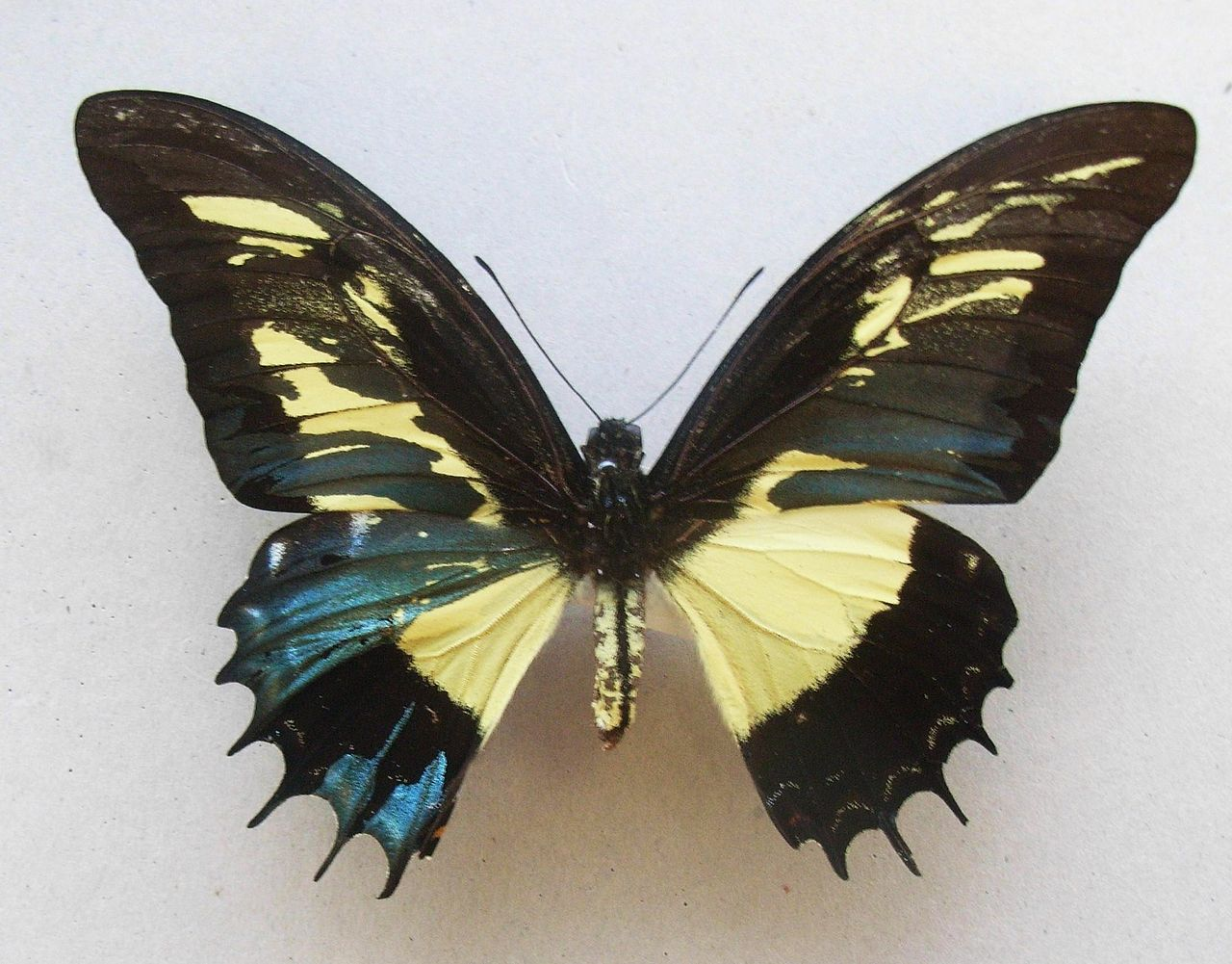Gynandromorph butterfly (source)